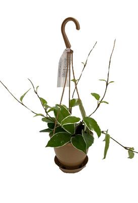 """Krimson Queen Wax Plant - Hoya - 4.5"""" Hanging Basket - Trending"""