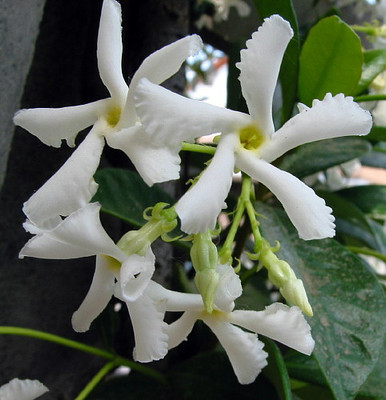 "Confederate Star Jasmine Plant - 2.5"" Pot - Extremely Fragrant Vine"