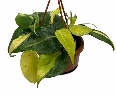 """Brazil Philodendron 6"""" Hanging Basket - Easy to Grow - Low Light"""