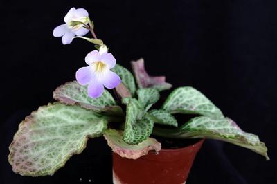 """Xuan's Party Dress Asian Violet - Primulina - 2.5"""" Pot - House Plant/Terrarium"""