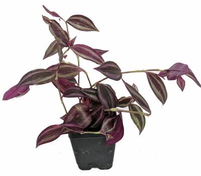 "Burgundy Wandering Jew - 4"" Pot - Easy to Grow House Plant"