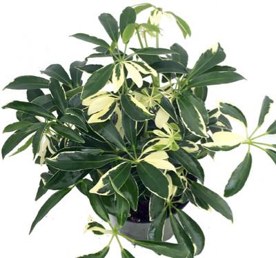 "Creme & Green Hawaiian Schefflera - 6"" Pot - Great Indoors"