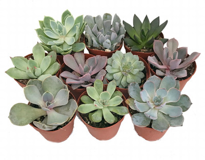 "10 Different Desert Rose Succulent Plants - Echeveria - Easy to grow - 2"" Pots"