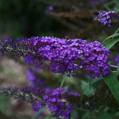 Blue Knight Butterfly Bush - Buddleia - MONARCH® Collection - Gallon Pot