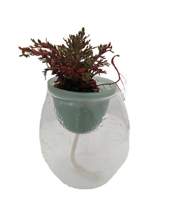 Water Wick Glass Planter with Club Moss Plant - 4.5 x 4.5 in - Live Trends