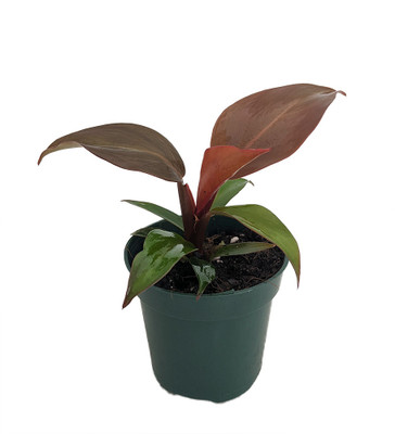 "McColley's Finale Philodendron - 4"" Pot - Collector's Series"