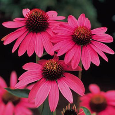 Magnus Coneflower - Echinacea - Bright Carmine-Rose Blooms - Gallon Pot