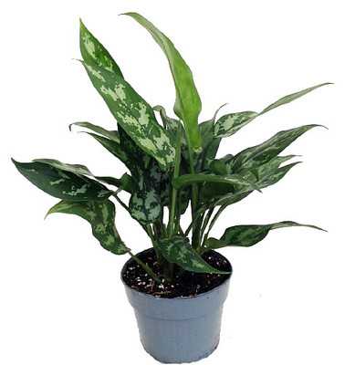 "Maria Chinese Evergreen Plant - Aglaonema - Low Light - 6"" Pot"