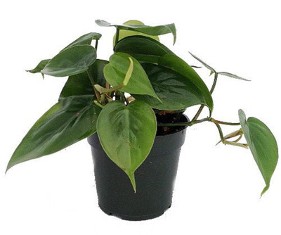 """Hirt's Gardens Heart Leaf Philodendron - Easiest House Plant to Grow - 4"""" Pot"""