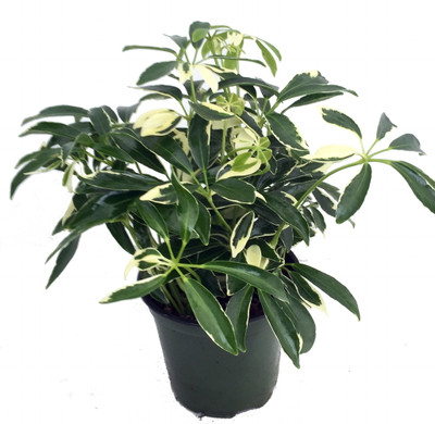"Creme & Green Hawaiian Schefflera Plant - Great Indoors - 3.5"" Pot"