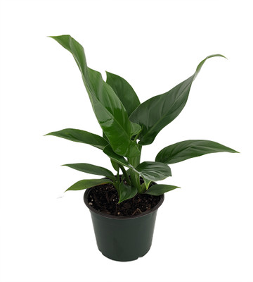 """Imperial Green Philodendron - 6"""" Pot - Easy to Grow - Collector's Series"""