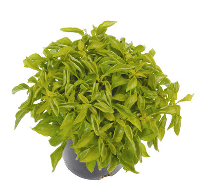 "Biblical Yellow St. Joseph's Coat -Alternanthera- Easy Houseplant-2.5"" Pot"