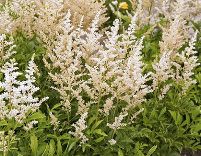 Snowdrift Astilbe - Shade Perennial - Live Plant - Quart Pot