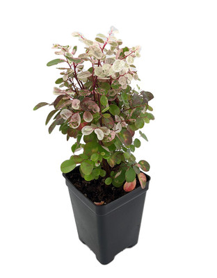 "Dwarf Snowbush - Breynia nivosa 'Roseopicta Nana' -Great House Plant - 2.5"" Pot"