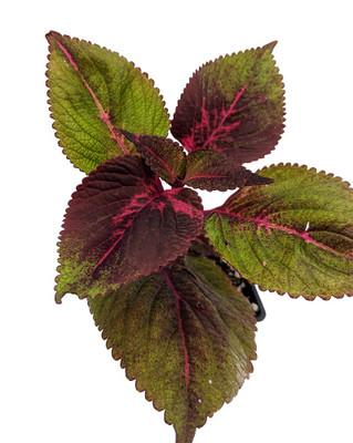 """Tricolor Perilla Perilla Plant - Herb/Shiso - Ohba - 2.5"""" Pot"""