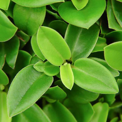 "Cupid Peperomia - Easy House Plant - 2.5"" Pot"