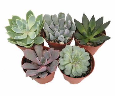 "5 Different Desert Rose Succulent Plants - Echeveria - Easy to grow - 2"" Pots"