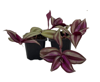 """Sterling Silver Wandering Jew - 2 Plants 3"""" Pots - Easy to Grow House Plant"""