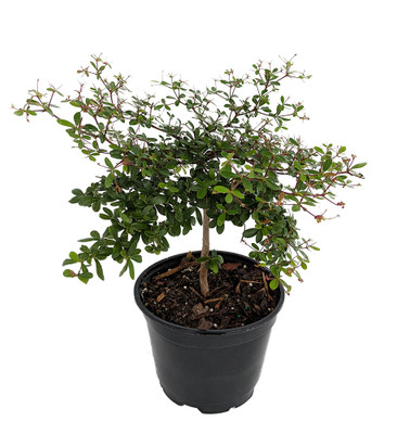 """Dwarf Black Olive Tree - Indoors or Out - 4"""" pot - Bucida spinosa"""