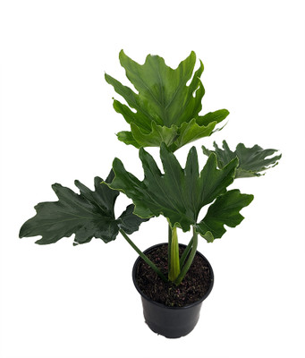 """Little Hope Philodendron - Easy to Grow House Plant - 6"""" Pot"""