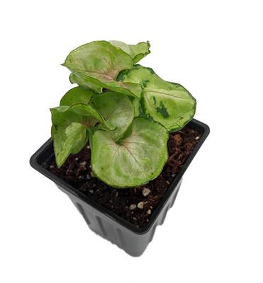 """Roxana Arrowhead Plant - Syngonium - Nepthytis - 2.5"""" Pot - Easy to Grow"""