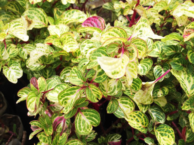 """Yellow Painted Bloodleaf Plant - Iresine diffusa f. herbstii - 2.5"""" Pot"""