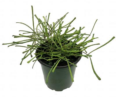 "Rare Frog Toe Wax Plant - Hoya retusa - Collector's Series - 4"" Pot-Hard to Find"