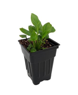 "Claudia Peace Lily Plant - 2.5"" Pot - Spathyphyllium - Great House Plant"