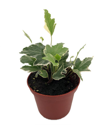 """White Ripple English Ivy - Hedera - 2.5"""" Pot - Easy to Grow, Indoors"""