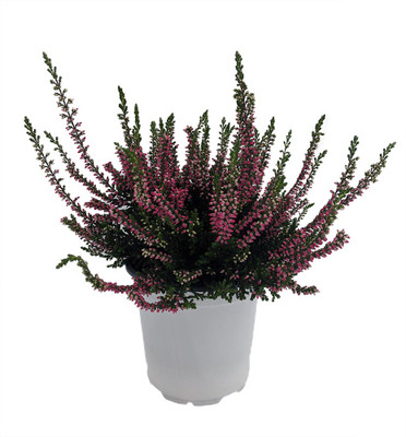 "Dark Pink Heather - Calluna vulgaris - Hardy - 4"" Pot"