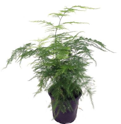 "Fern Leaf Plumosus Asparagus Fern - 4"" Pot- Easy to Grow Houseplant - Live Plant"