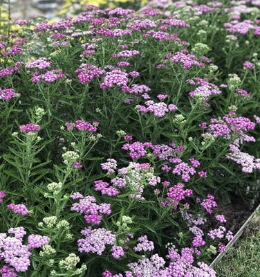 Firefly Amethyst Yarrow - Gallon Pot - Achillea