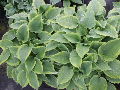 Spartacus Hosta - Gallon Pot - Shade Perennial