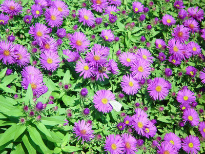 Purple Dome Fall Blooming Perennial Aster - Hardy - Gallon Pot
