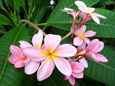 "Exotic Thailand Pale Rose Pink Plumeria - Frangipani - 8 -10"" Cutting"