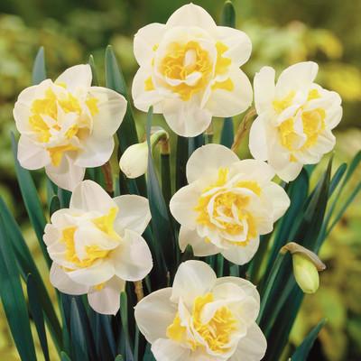 Wave Double Flowering Daffodil - 5 Bulbs - Deer Proof - 14/16 cm Bulbs