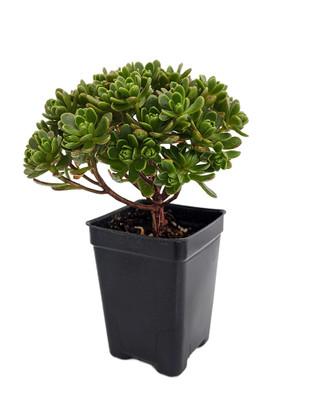 """Irish Blessing Tree - Aeonium tortuosum - Easy to Grow Succulent - 2.5"""" Pot"""