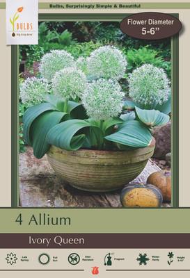 Ivory Queen Allium 4 Bulbs - Persian Onions - 12/14 cm