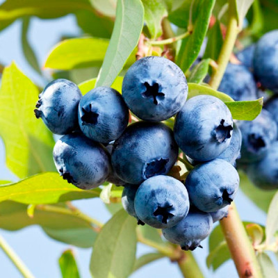 "Northcountry Blueberry Plant - Wild Blueberry Taste - Self Fertile - 2.5"" Pot"