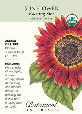 Evening Sun Sunflower - 30 Seeds - Organic