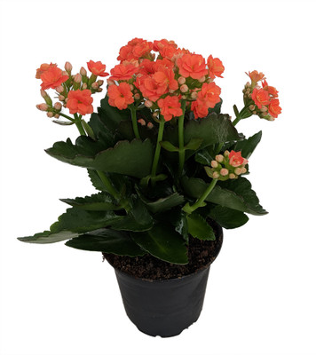 "Orange Calandiva - 4"" Pot - In Bud and Bloom - Double Orange Blooms"