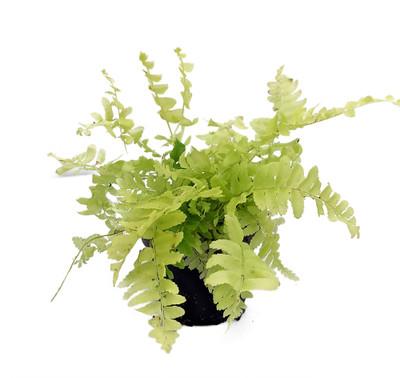 """Blonde Boston Fern - Nephrolepis - 2.5"""" Pot - Easy House Plant"""