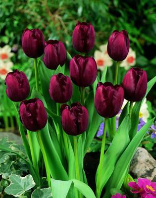 Giant John Triumph Tulip 10 Bulbs - 12/+ cm