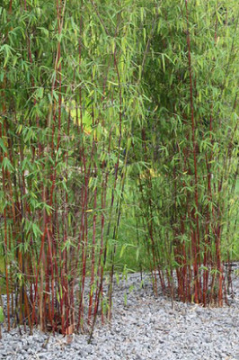 """Little Red Head Clumping Bamboo - Fargesia rufa - 4"""" Pot - RARE - Indoors or Out"""