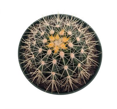 "Golden Barrel Cactus - Echinocactus grusonii - 6"" Pot"