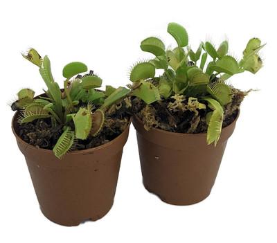 """Venus Flytrap Plant - 2 Plants 2"""" Pots - CARNIVOROUS - Dionaea"""