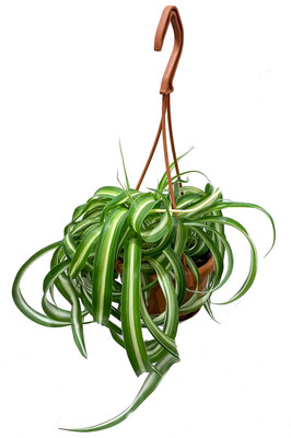 "Bonnie Curly Spider Plant - Easy to grow Clean Air Plant - 4"" Mini HB"