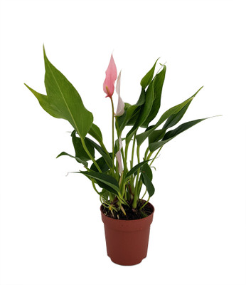 "Soft Pink Miniature Blooming Anthurium - 3"" Pot"