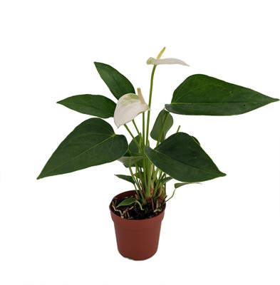 "White Miniature Blooming Anthurium - 3"" Pot"