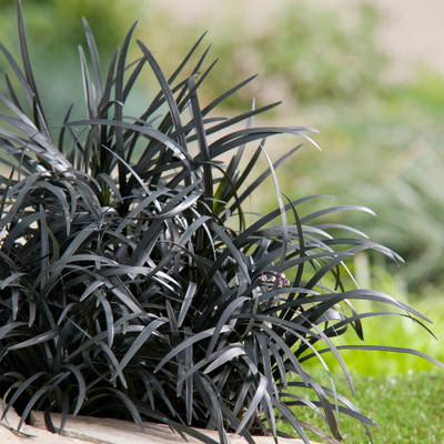 "Black Diva Mondo Lily Plant - Ophiopogon - 2"" Pot - Blooming House Plant"